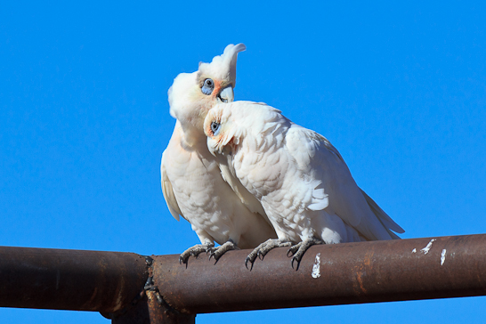 Little Corella entlang der Cordillo Downs Road
